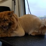 Cat Lion Cut