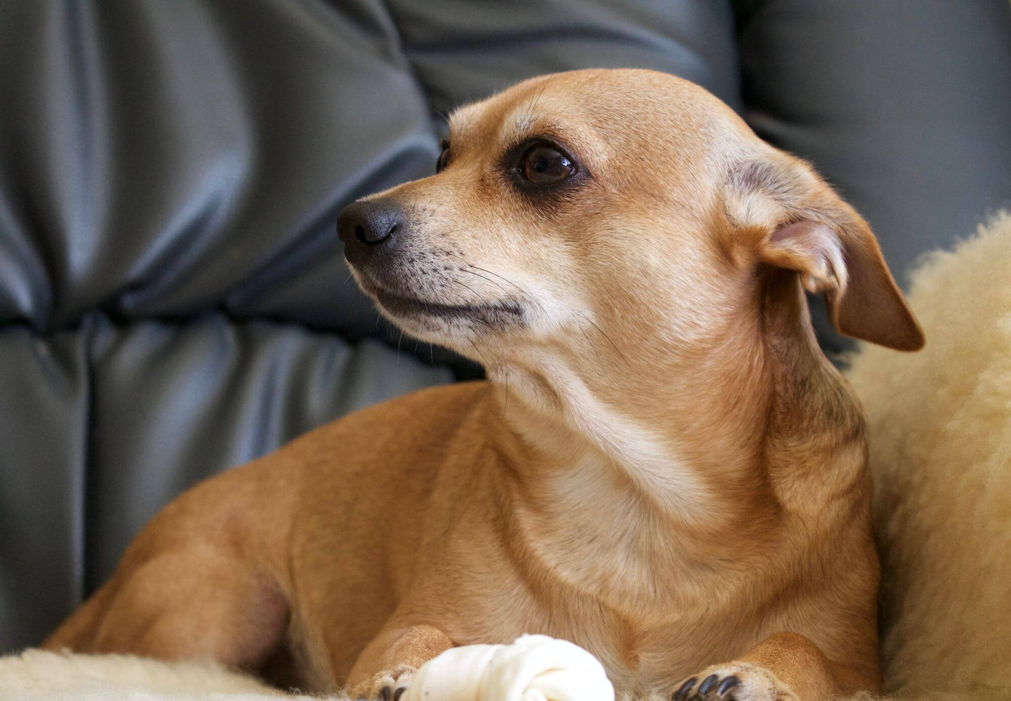 Cute Chihuahua